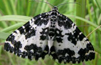 Argent and sable moth