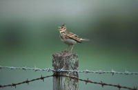 Skylark on fencepost
